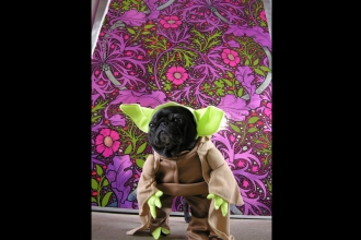 Flavor Pug as Yoda for Barkus with Kabloom in Fruit Punch - just because we could
